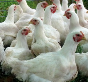 chicken rearing business