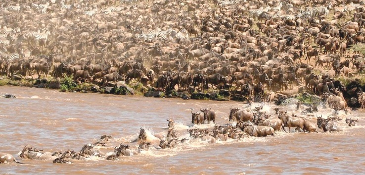 Maasai Mara Wildebeest migration