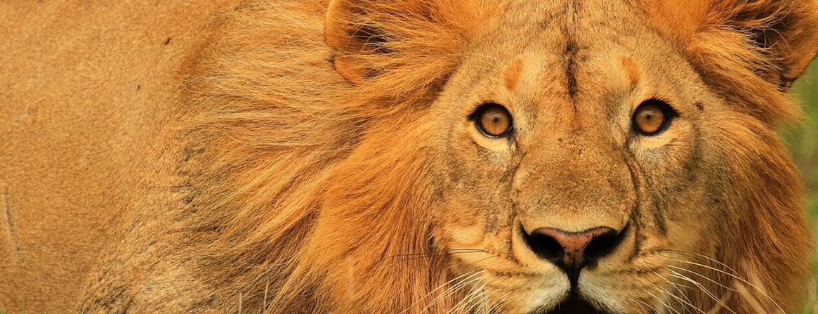 Maasai Mara animal beauty, lion resting
