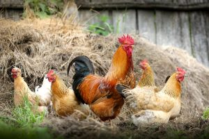 What are the Four Categories of Livestock Farming in Agriculture